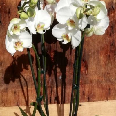 Orchidée Phalaénopsis