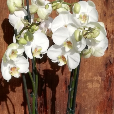 Orchidée Phalaénopsis Parfumée
