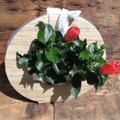 Hibiscus ou rose de chine